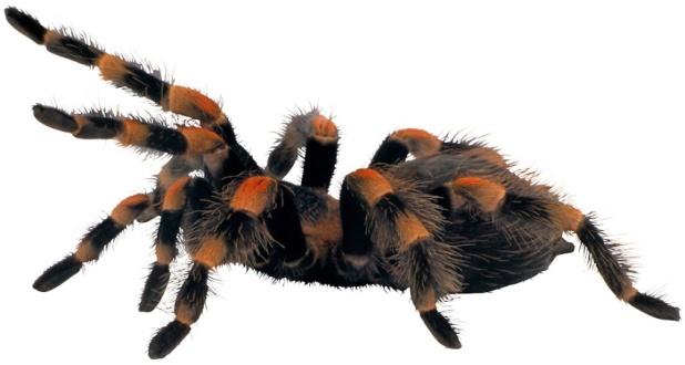 stressed-tarantula2